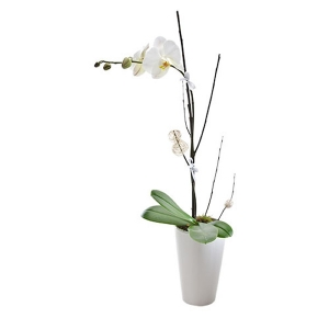 Exquisite Phalaenopsis Orchid Gift